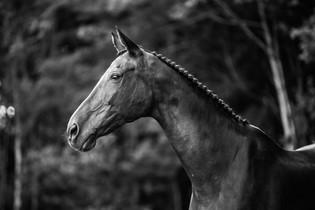 Portrett av hest, Kragerø