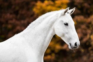 Hesteportrett i Kragerø