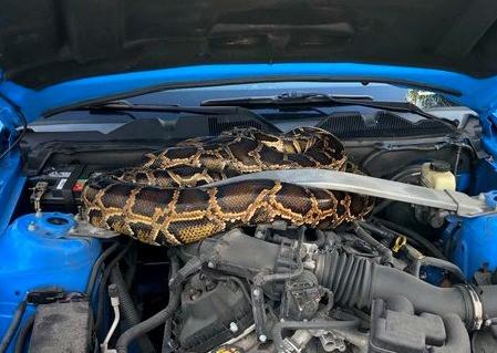 Su automóvil no arrancaba…había un pitón de tres metros en el motor (Video)
