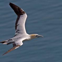 A Gannet in Flight