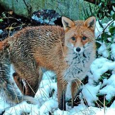 Posing Fox