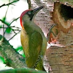 A Green Woodpecker