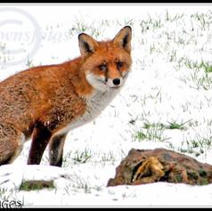 FOX IN THE WINTER