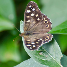 A Speckled Wood