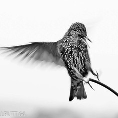 Starling in Action