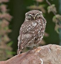 A LITTLE OWL