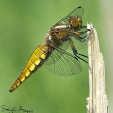 Broad Bodied Dagonfly