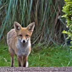 fox bottom of garden