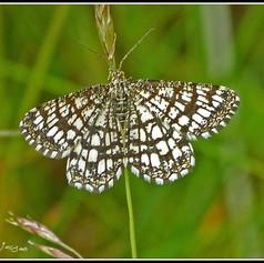 A Latticed Moth