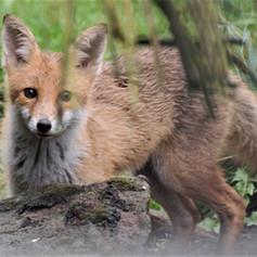 Fox  Visiting the Garden