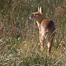 A Chinese Water Deer