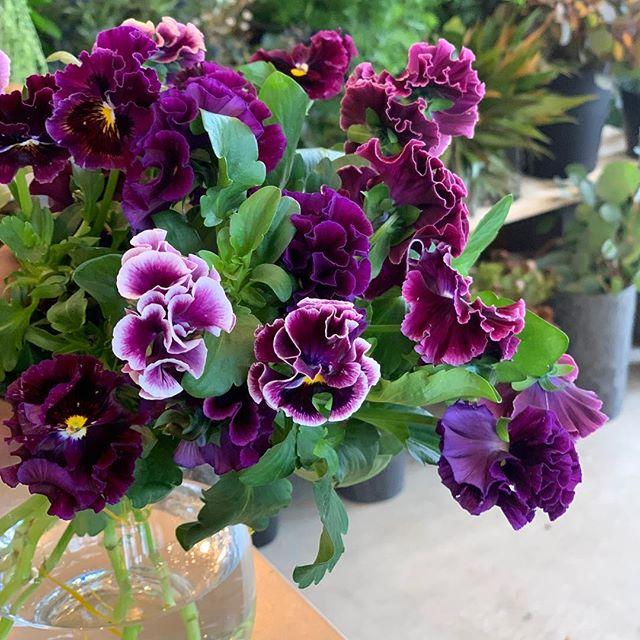 【絵になるスミレ】これでもかってほど最高にフリフリした花びらがゴージャスで色もキ