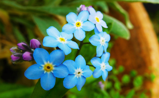 Forget-Me-Not 💙🌿
