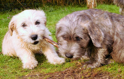 TWO PUPPIES, ONE STICK