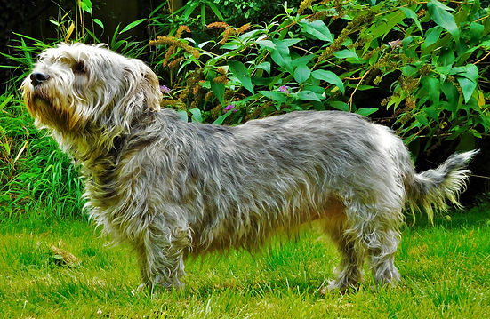 ©Jo Capon 2017 | Sky the extraordinary Glen of Imaal terrier | www.teamhrach.com