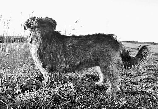 ©Jo Capon 2016 | Sky the Glen of Imaal terrier | www.teamhrach.com
