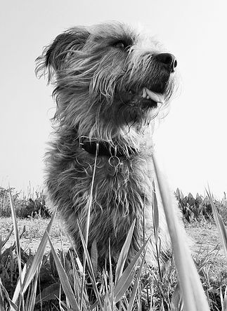 ©Jo Capon 2016 | Sky the extraordinary Glen of Imaal terrier | www.teamhrach.com