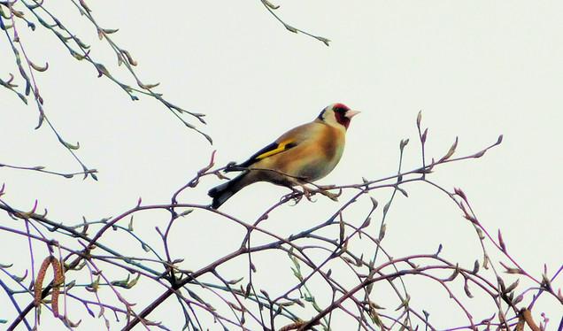 Goldfinch 💛