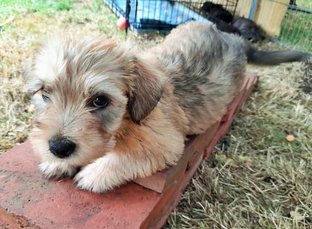 Wheaten Boy is Top Dog   July 2021   www.teamhrach.com