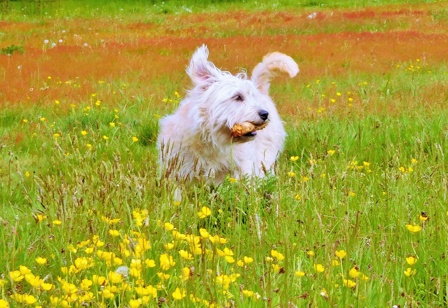 NETTLE AMONG THE BUTTERCUPS