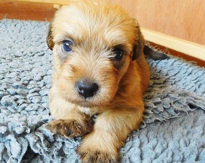Wheaten Glen of Imaal Terrier Puppy   www.teamhrach.com