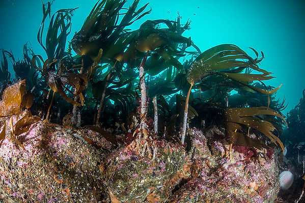 Kelp forest 1.jpg