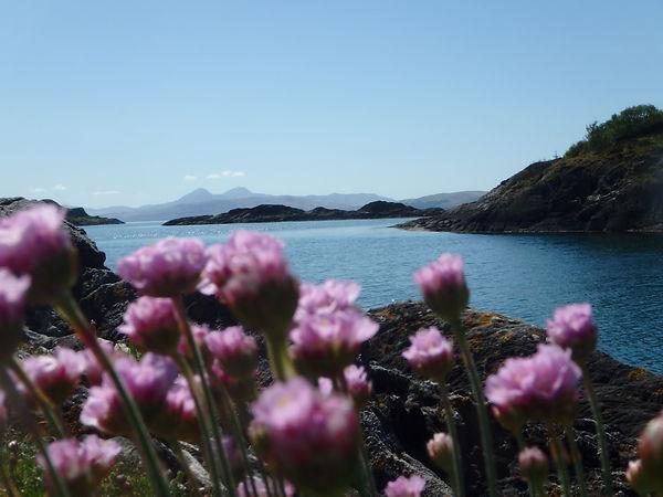 Jura sea pinks.jpg