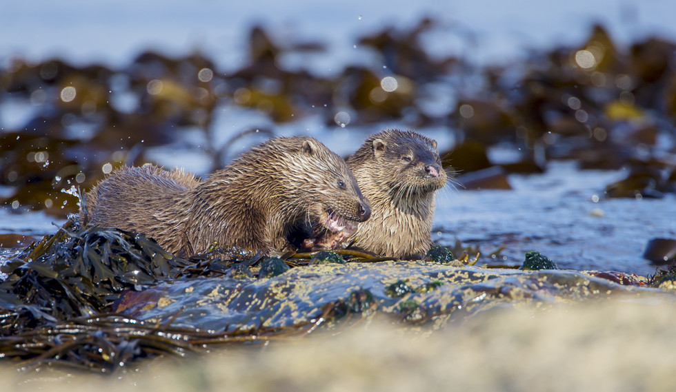 Otters at Keills, Sound of Jura (by Philip Price)