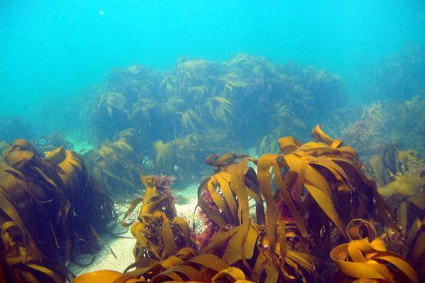 Kelp forest 2.jpg
