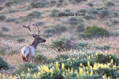 Tule Elk at Sunrise 5 x 7 Greeting Cards set of 4 on Bamboo Paper