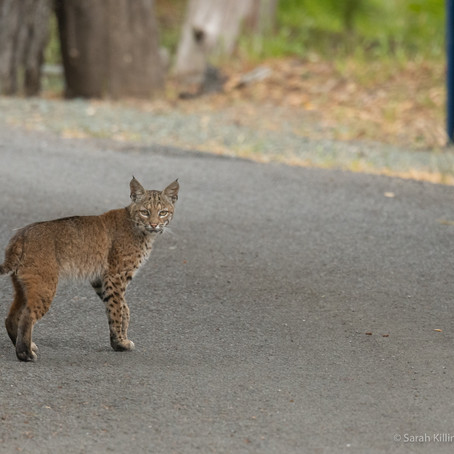 The Elusive (and Adorable!) Bobcat With Sarah Killingsworth