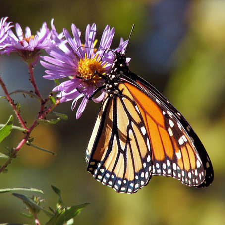 Western Monarchs on the Brink of Extinction