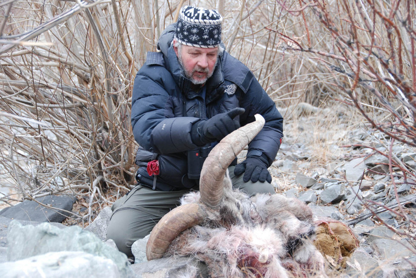 Rodney with snow leopard kill, a blue sheep in Ladakh, India. Photo Credit: SLC