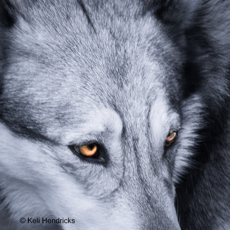 Michelle Lute of Project Coyote Talks About the War on Wolves