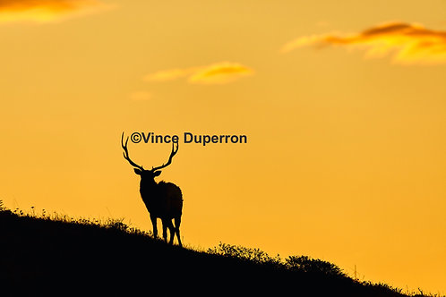 Elk at Sunset 5 X 7 Greeting Cards Set of 4  on Bamboo Paper