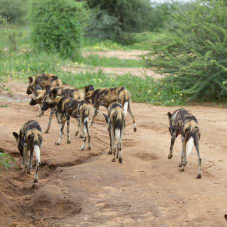 Life Lessons From African Painted Dogs With Dr. Greg Rasmussen of the Painted Dog Research Trust