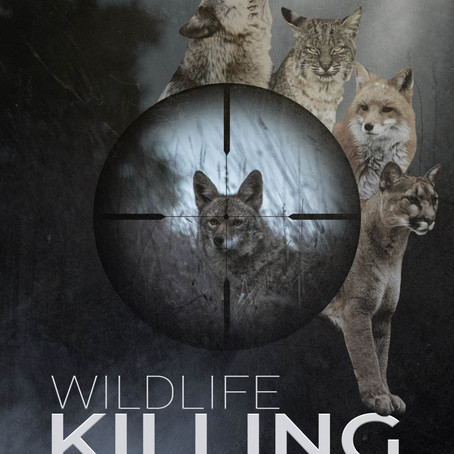 Coyotes, Wild Carnivores and Killing Contests: an Interview with Camilla Fox of Project Coyote