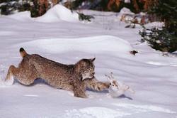 hare-lynx