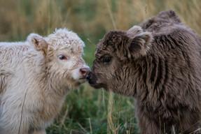 Calf friendship
