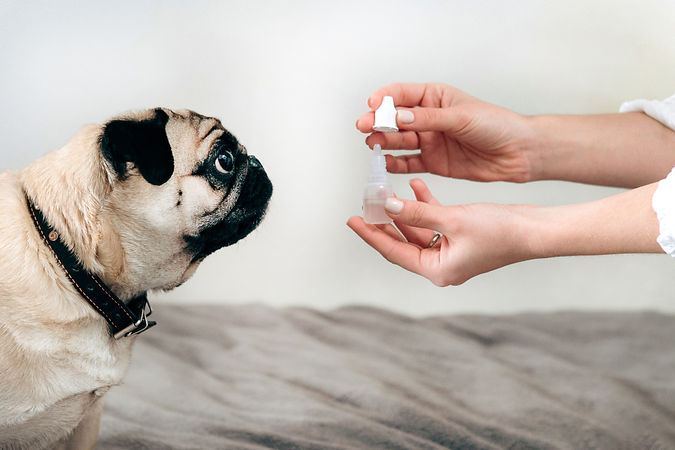 Cute pug sitting, looking at a woman's hand holding ear drops. Dog treatment. Taking care