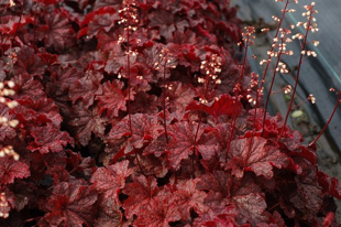 Heuchera 'Fire Alarm