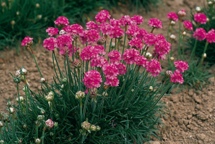 Armeria mar. Splendens