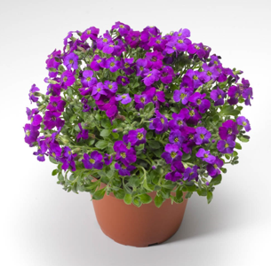 Aubretia Audrey Purple Shades
