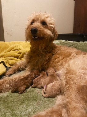 Teacup Mini-Goldendoodle Puppies Have Arrived!!