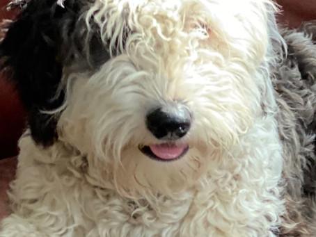 What Makes Sheepadoodle Puppies Unique?