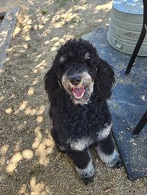 Guin - Moyenne Poodle