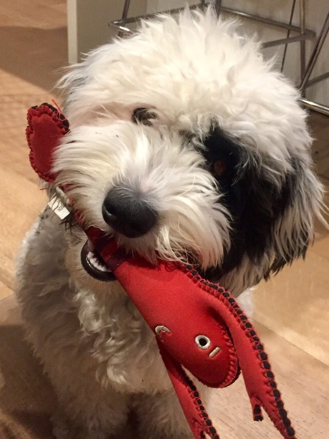 Mini Sheepadoodle feeling playful with toy in her mouth