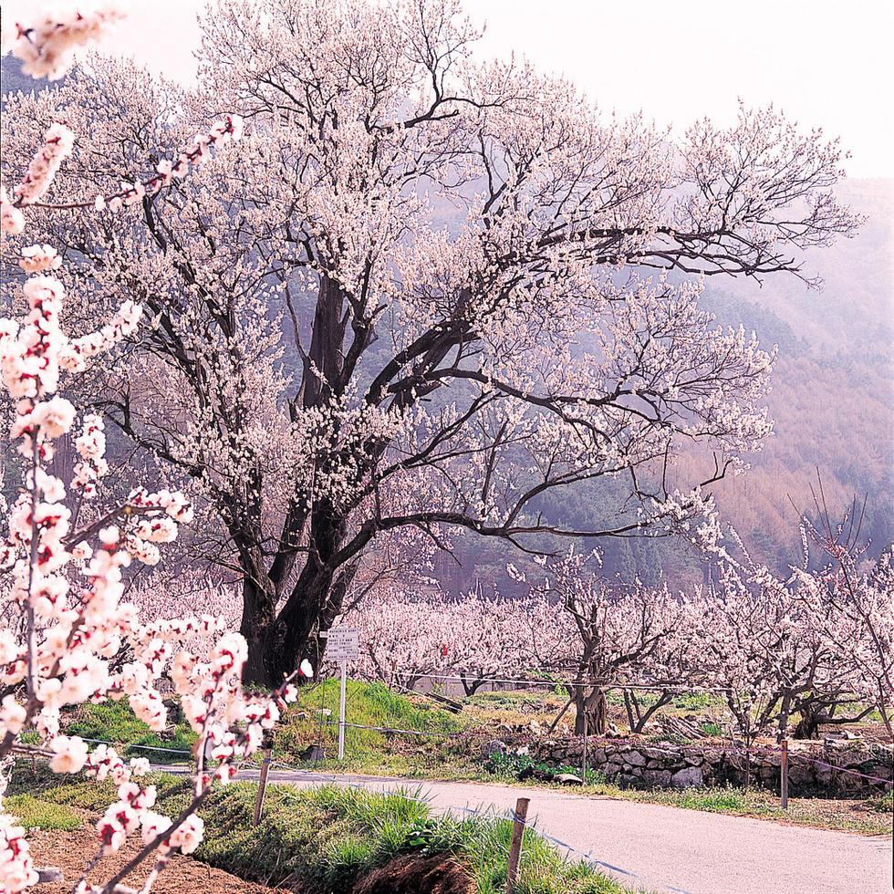 あんずの花(3月下旬〜4月上旬)