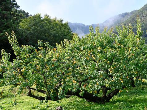 初夏のあんずの木
