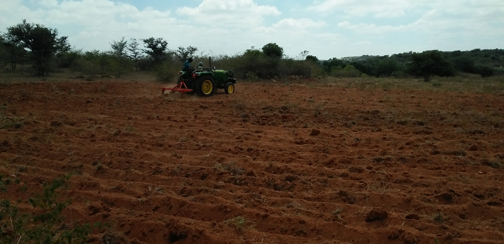 Land preparation ready for planting Tissue culture Teak saplings